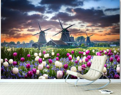 Netherlands landscape with beautifull violet and white tulips flowers. Dutch windmills and houses near the canal in Zaanse Schans postcard.