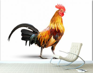 Colorful rooster isolated on white background with clipping path