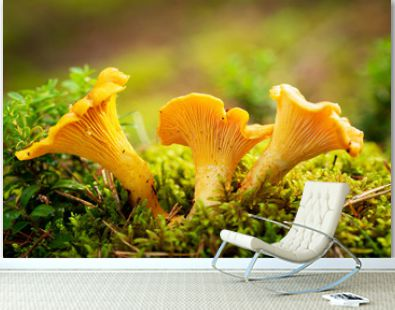 Chanterelle mushrooms in a forest. Edible mushrooms