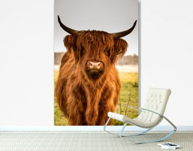 Highland cow close up