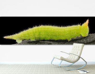 The luscious greenescent caterpillar of the brown drab northern pearly eye butterfly