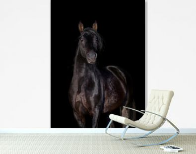 Portrait of a beautiful horse looking forward isolated on black. Black stallion head close up isolated on black background.