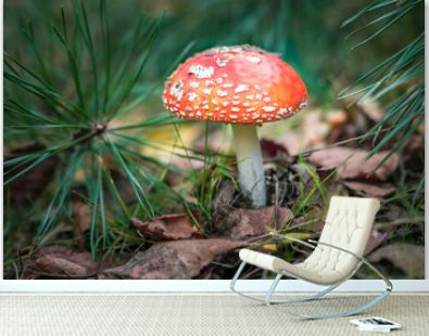 Amanita muscari. Toxic and hallucinogen beautiful red-headed mushroom Fly Agaric in grass on autumn forest background. source of the psycho-active drug Muscarine