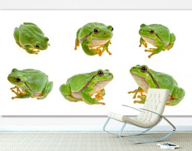 tree frog isolated on white background