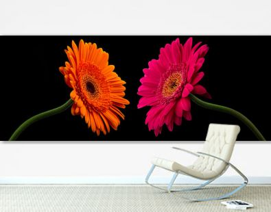 Pink or red gerbera with stem isolated on black background