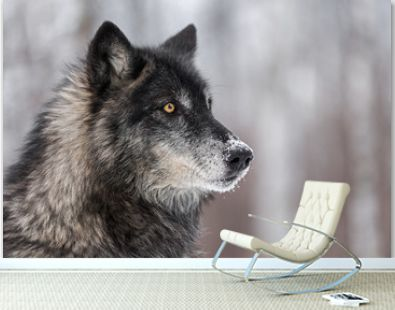 Black Phase Grey Wolf (Canis lupus) Looks to the Right
