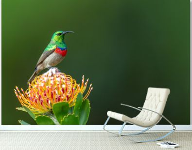 Southern double-collared sunbird or lesser double-collared sunbird (Cinnyris chalybeus) - Kleinrooibandsuikerbekkie