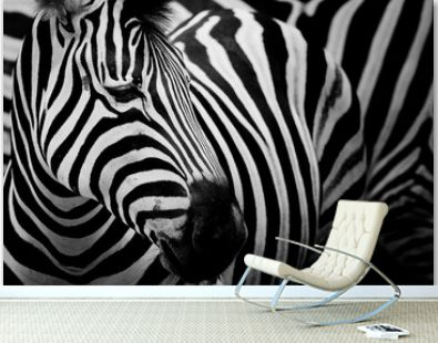 Zebra on dark background. Black and white image