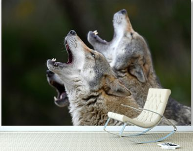 heulende Wölfe (Canis lupus lupus) - howling european wolves