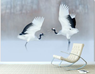 Dancing birds on the snow meadow. Crane from Japan.