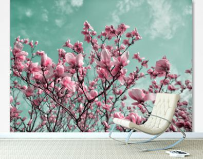 Blossoming magnolia flowers in spring time