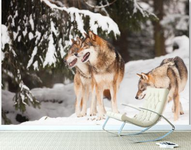 A pack of wild wolves in the snow in winter