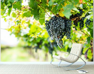 Ripe grapes on a vineyard in Italy.