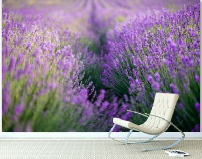 Lavender field on a sunny day, lavender bushes in rows