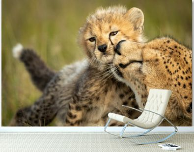 Close-up of female cheetah nuzzling young cub