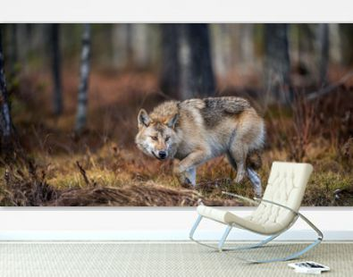 A wolf sneaks through the autumn forest. Eurasian wolf, also known as the gray or grey wolf also known as Timber wolf. Scientific name: Canis lupus lupus. Natural habitat. Autumn forest..