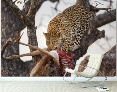 Leopard, Panthera pardus, with an impala kill, Aepyceros melampus, in a tree.
