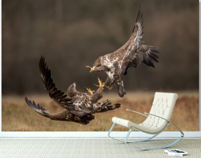 White tailed eagles fighting each other in flight with open wings