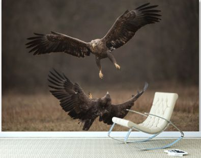 White-tailed eagles fighting in flight with fully open wings