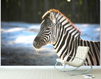 The zebra which moves an ear