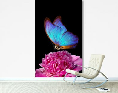 blue morpho butterfly on peony flower. closeup. pink peony and butterfly on a black background