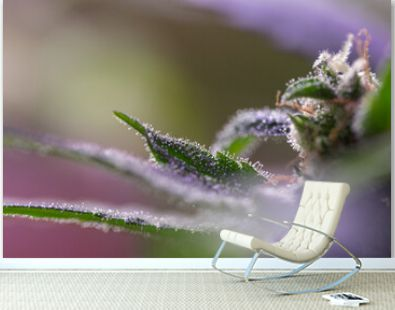 Closeup of Cannabis female plant in flowering phase