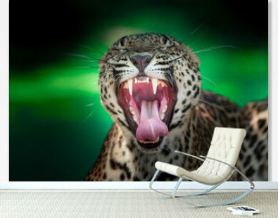 Leopard roaring outbound showing it's teeth and fangs