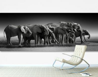 Fine art, black and white, panoramic photo of an african elephants herd against dark background, standing on the bank of river Chobe, drinking water. Botswana safari.