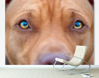 The eyes of the American pit bull terrier is very close-up.