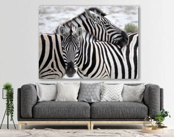 Zebras in the wild nature, Africa, Namibia