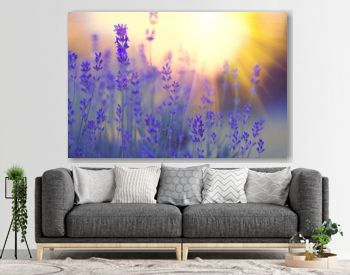 Lavender field, Blooming violet fragrant lavender flowers. Growing lavender swaying on wind over sunset sky, harvest, perfume ingredient, aromatherapy
