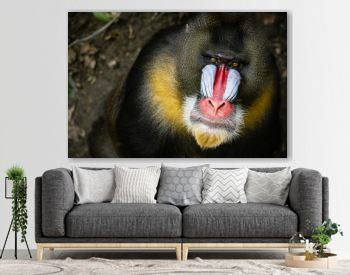 Frontal Portrait of a Male Mandrill