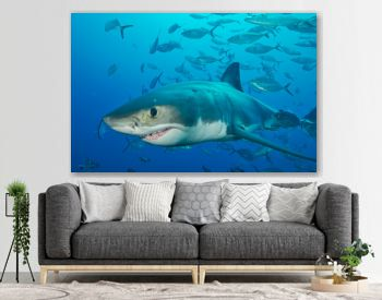 Great white shark with school of fish