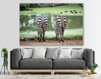 two zebra`s eating grass at the pond