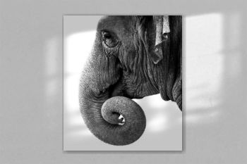 head of elephant isolated on white background. Wild animal