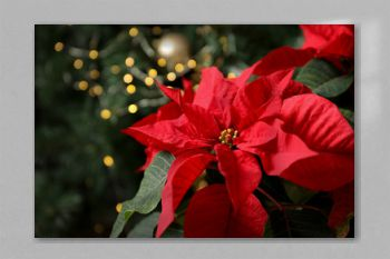 Beautiful poinsettia and space for text on blurred background. Traditional Christmas flower