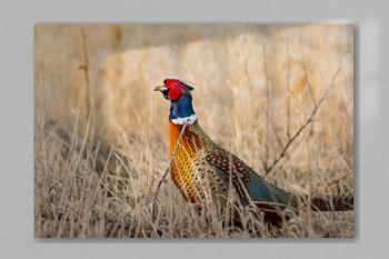 Ring-necked Pheasant Drake in a Field