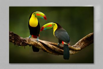 Toucan sitting on the branch in the forest, green vegetation, Costa Rica. Nature travel in central America. Two Keel-billed Toucan, Ramphastos sulfuratus, pair of bird with big bill. Wildlife.