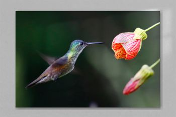 Azure-Crowned Hummingbird with Flower