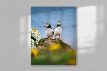 Puffins in Iceland. Seabirds on sheer cliffs. Birds on the Westfjord in Iceland. Composition with wild animals. Birds - image