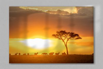 Zebras grazing in groups at sunset in Mara triangle during migration season