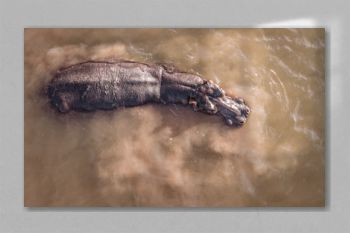 Hippopotamus isolated in water aerial drone photo of hippo in water from above