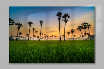 Silhouette of Twin Sugar Palm Tree in Green Rice Field with Sunrise Sky.