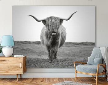 impressive scottish highlander bull with long horns and lots of hair looking towards the camera in black and white