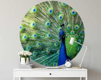 A peacock displaying their feathers